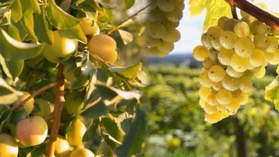 Фруктовые сады и виноградные плантации: